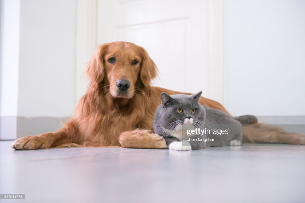 Golden Retriever And British Short Hair Cat High Res Stock Photo Getty Images