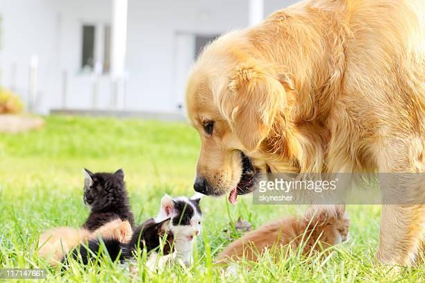 Golden retriever et un groupe de chats.
