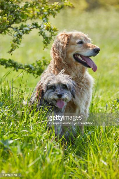Golden Retriever and Spaniel relaxing in long grass