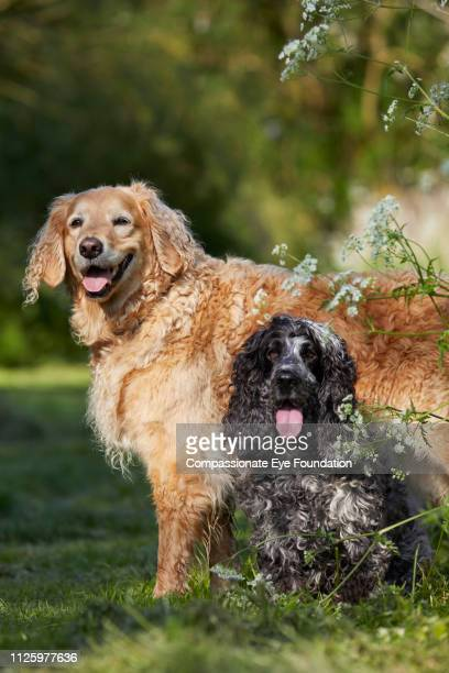 Golden Retriever and Spaniel relaxing in park