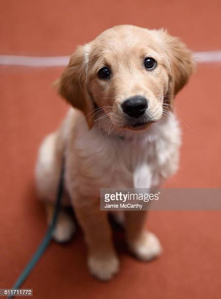 A Golden Retriever attends the American Kennel Club Presents The Nation's Most Popular Breeds Of 2015 at AKC Headquarters on February 22 2016 in New...