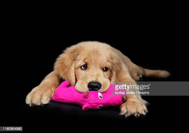 golden retriever, baby dog, puppy - dolly golden stock pictures, royalty-free photos & images