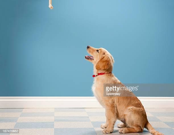 Golden Retriever Begging.