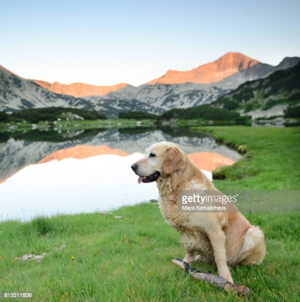 golden retriever by muratovo lake at sunset - pirin mountains stock pictures, royalty-free photos & images