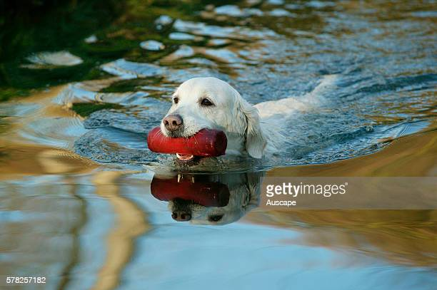 Golden retriever Canis familiaris in water being trained to retrieve