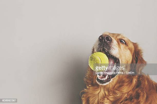 Golden Retriever Catching Ball At Home