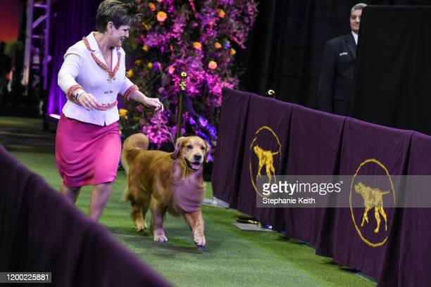 Golden retriever Daniel enters the ring during the annual Westminster Kennel Club dog show on February 11, 2020 in New York City. The 144th annual...