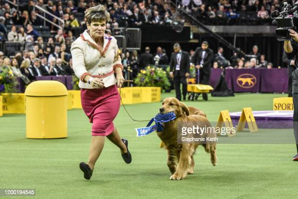 Golden retriever Daniel wins the Sporting Group during the annual Westminster Kennel Club dog show on February 11 2020 in New York City The 144th...