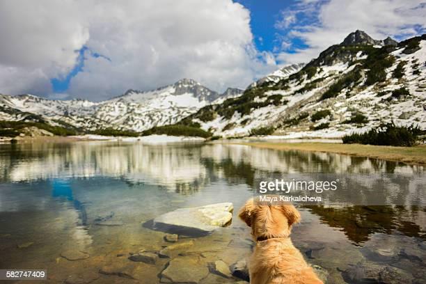 Golden retriever dog by a mountain lake