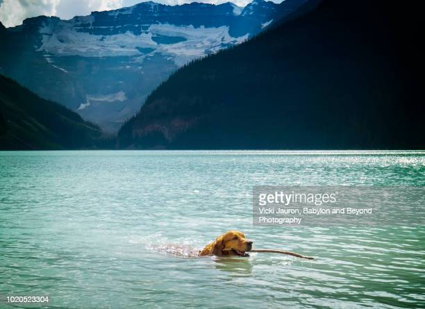 golden retriever dog fetching stick in lake louise - lake louise lake stock photos and pictures