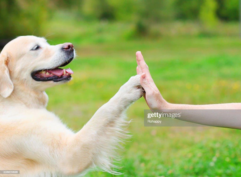 Golden Retriever dog giving paw owner, closeup photo : Stock Photo