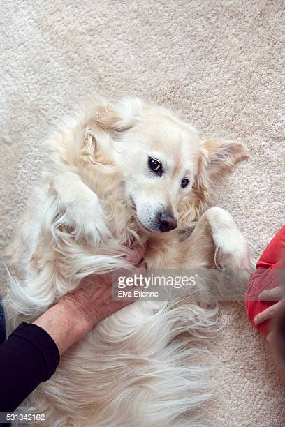 golden retriever dog having belly rubbed - rubbing stock pictures, royalty-free photos & images