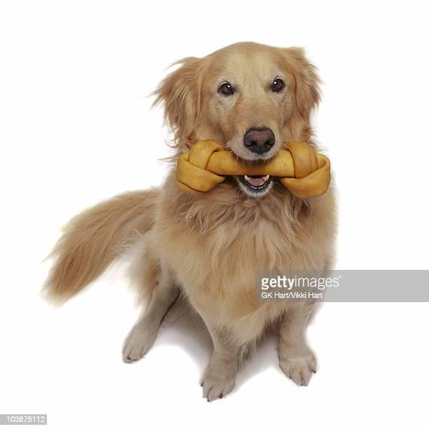 golden retriever dog holding bone in mouth - くわえる ストックフォトと画像