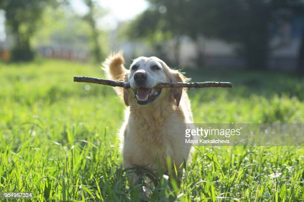 golden retriever dog holding wooden stick - golden retriever stock pictures, royalty-free photos & images
