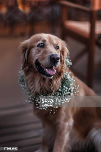 golden retriever dog in a flower crown - ring bearer stock pictures, royalty-free photos & images