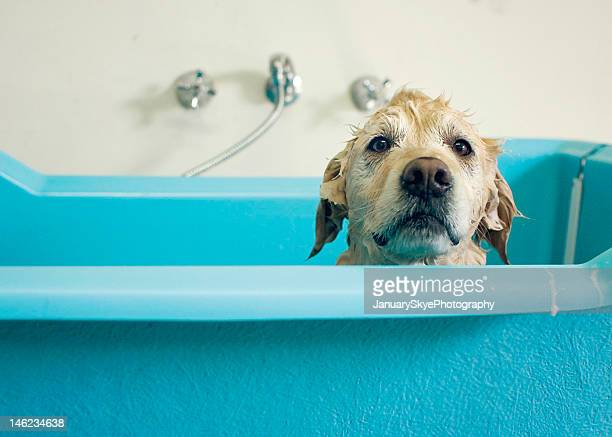 Golden retriever dog in bath