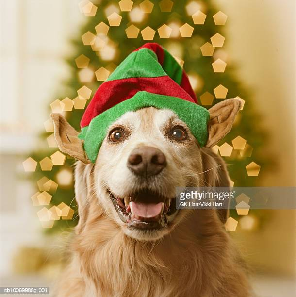 Golden retriever dog in elf hat, close-up