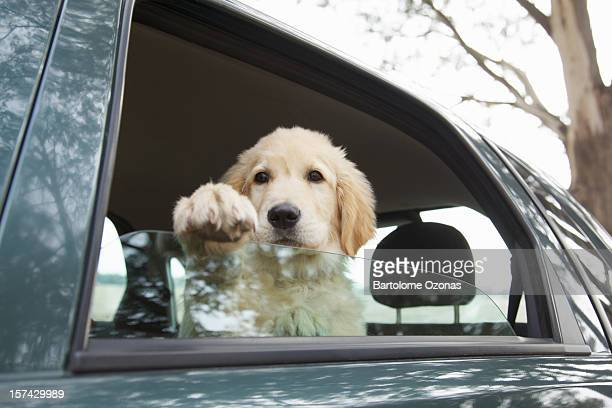 Golden Retriever dog inside a car looking outside the window
