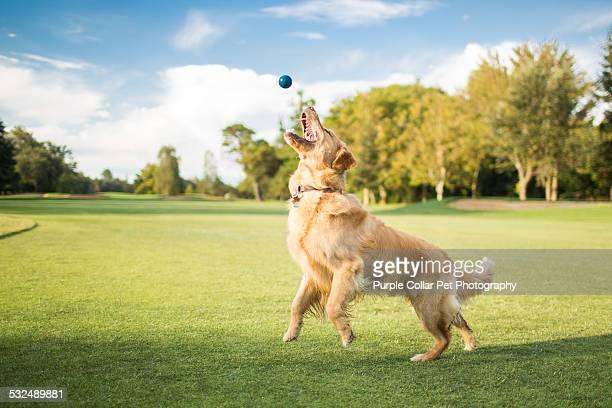 Golden Retriever Dog Jumping for Ball Outdoors