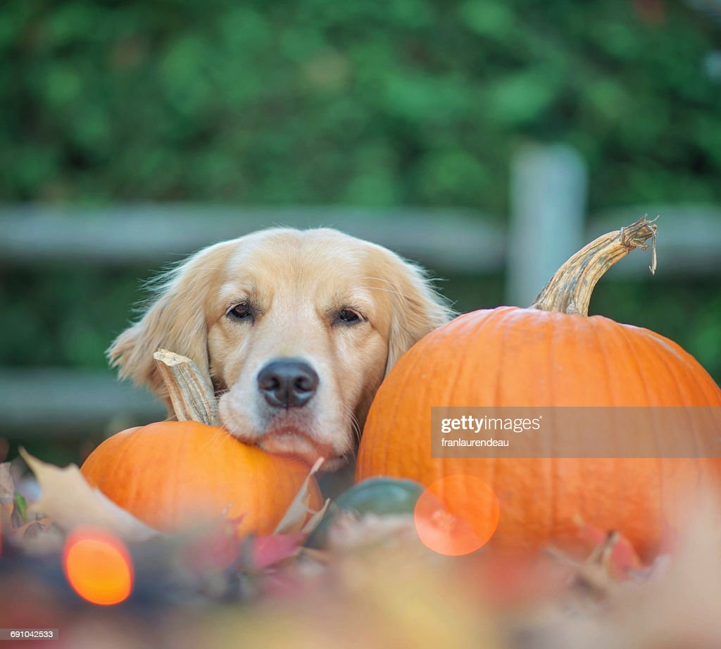 Golden retriever dog lying amongst pumpkins and autumn leaves : Stock Photo