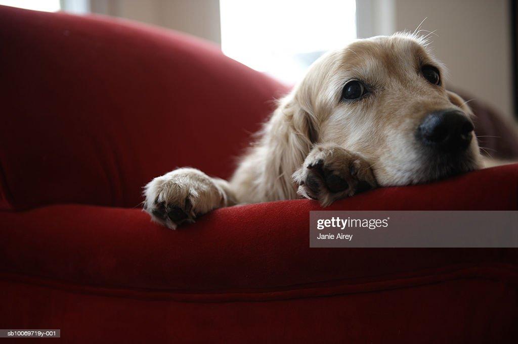 Golden retriever dog lying on sofa, close-up : Stock Photo