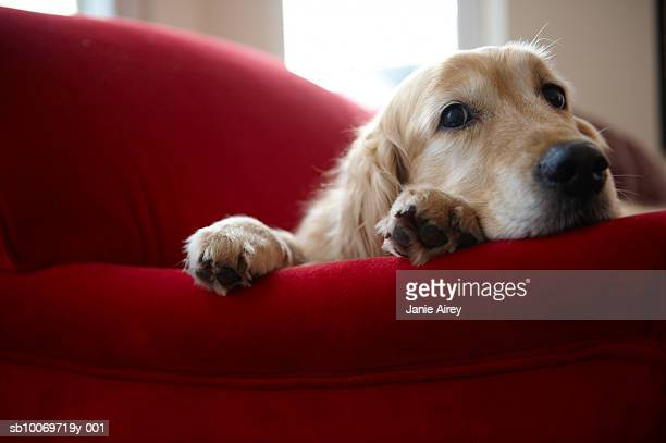 golden retriever dog lying on sofa, close-up - golden retriever stock pictures, royalty-free photos & images