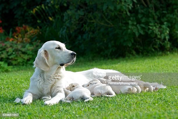 Golden Retriever dog nursing her puppies