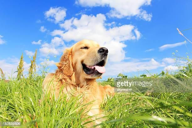 Golden retriever chien sur une pelouse Prairie