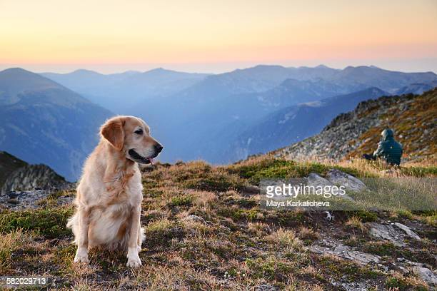 Golden retriever dog on a mountain top