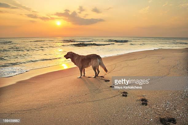 Golden retriever dog on seashore at sunrise