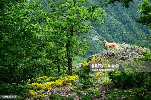 Golden retriever dog overlooking from cliff
