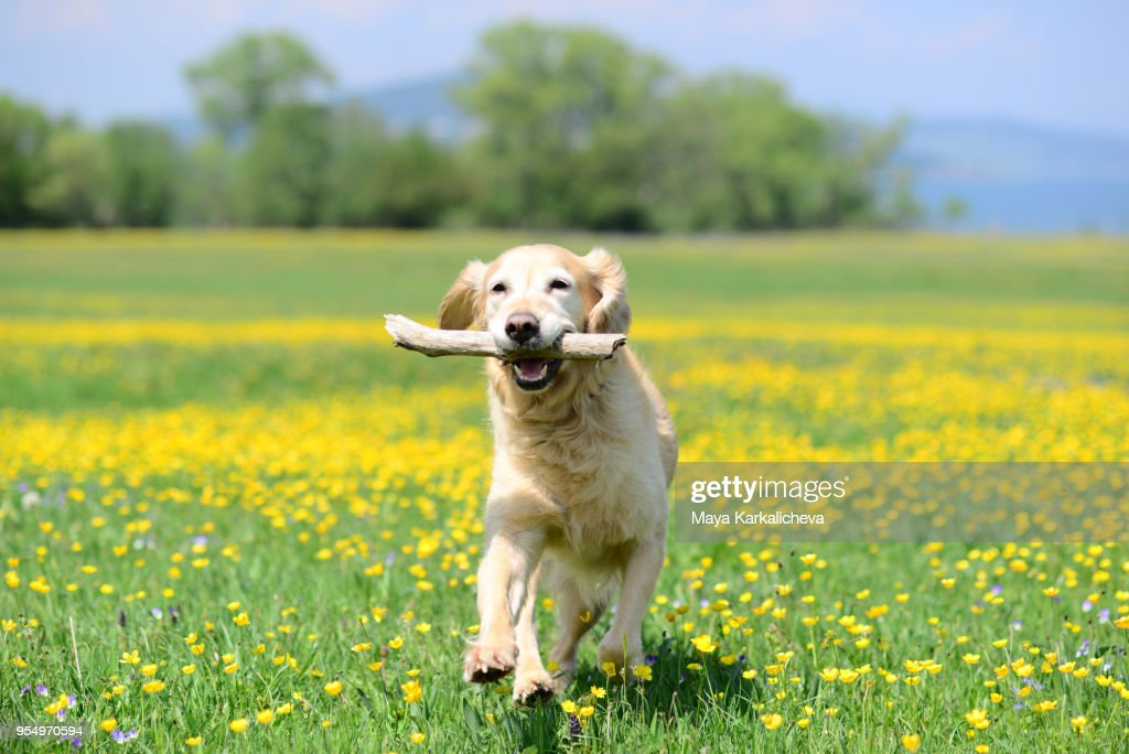 Golden retriever dog playing with stick on a flower meadow outdoors : Stock Photo