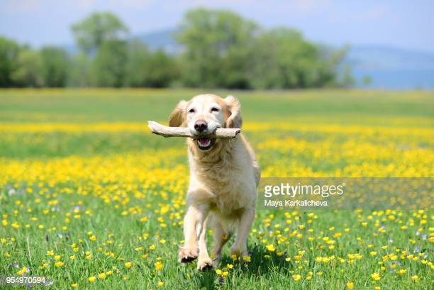 golden retriever dog playing with stick on a flower meadow outdoors - golden retriever stock pictures, royalty-free photos & images