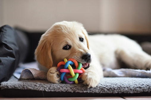 Golden retriever dog puppy playing with toy 838308750