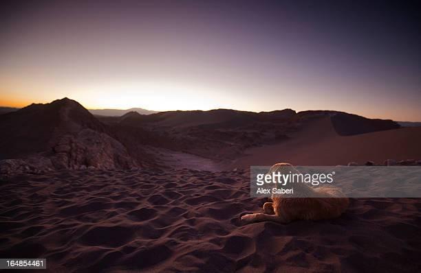 a golden retriever dog rests in the valley of the moon. - alex saberi imagens e fotografias de stock