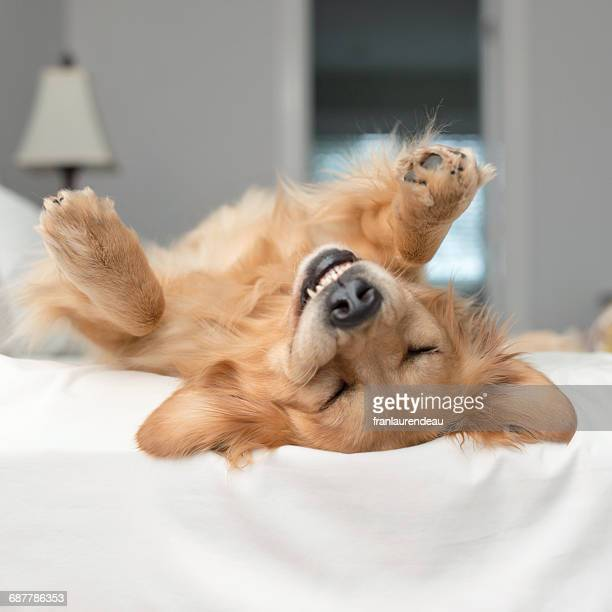 Golden retriever dog rolling around on a bed