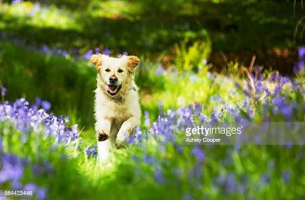 a golden retriever dog running through bluebells in jiffy knotts wood near ambleside, lake district, uk. - bluebell stock pictures, royalty-free photos & images