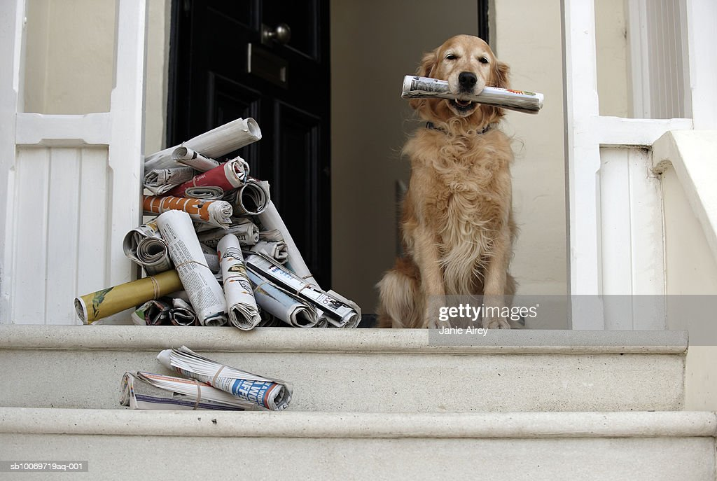 Golden retriever dog sitting at front door holding newspaper : Stock Photo