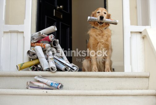 Golden Retriever Dog Sitting At Front Door Holding Newspaper Stock Photo