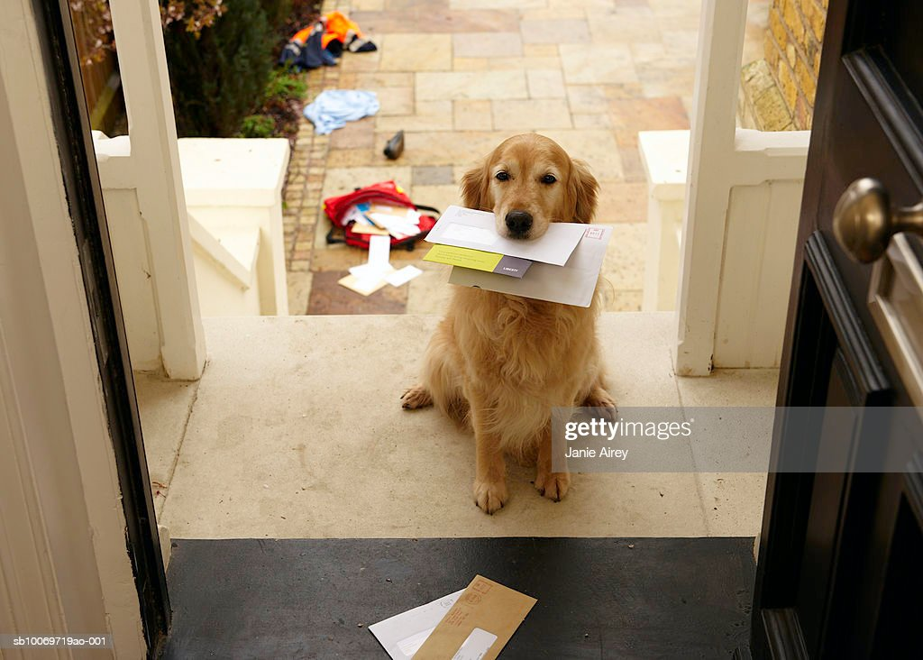 Golden retriever dog sitting at front door with letters in mouth : Stock Photo