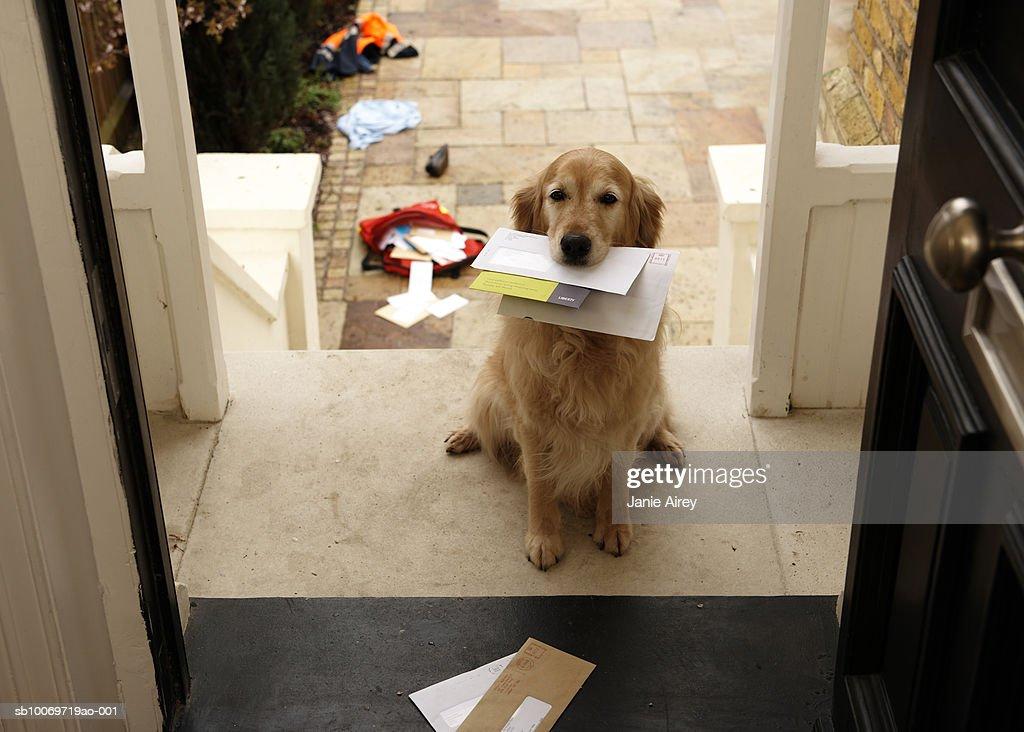 Golden retriever dog sitting at front door with letters in mouth : Bildbanksbilder