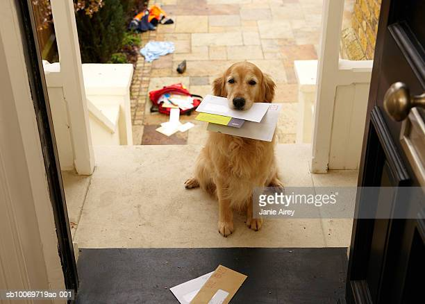 golden retriever dog sitting at front door with letters in mouth - mail stock pictures, royalty-free photos & images