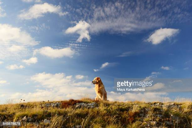 Golden retriever dog sitting on a grassy meadow looking at sky