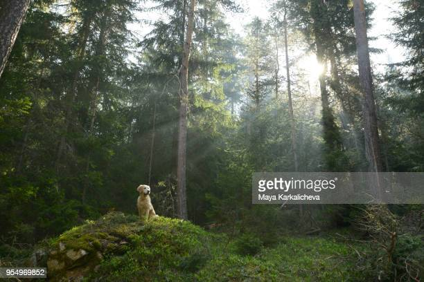 Golden retriever dog sitting on a rock in a pine woodland