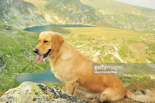 Golden retriever dog sitting on mountain peak