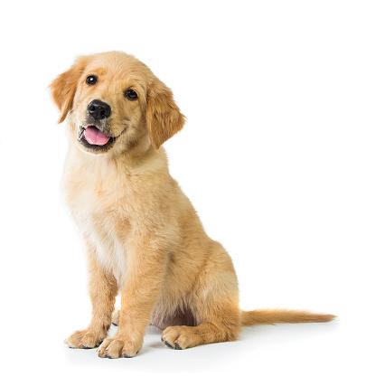 Golden Retriever dog sitting on the floor 478751930