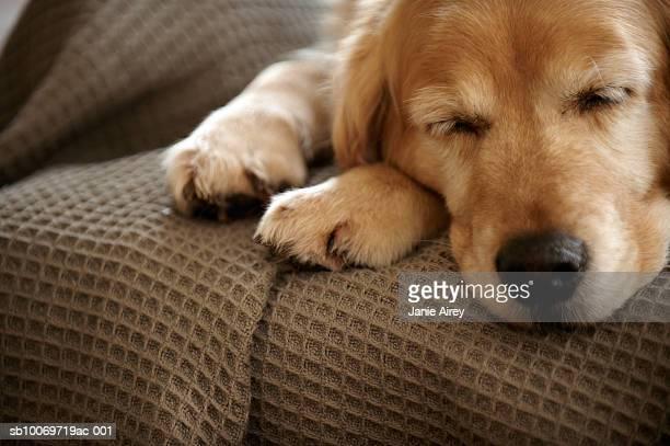 Golden retriever perro durmiendo en el sofá, primer plano