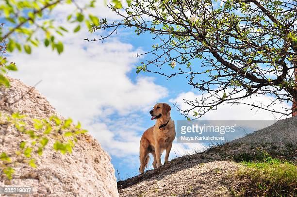 Golden retriever dog standing on a rock outdoors