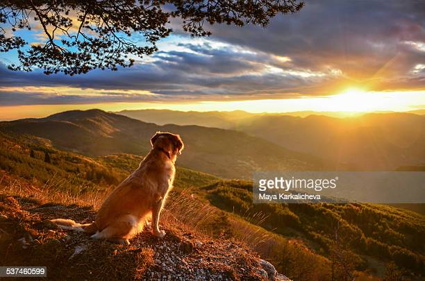 Golden retriever dog watching sunrise in mountains