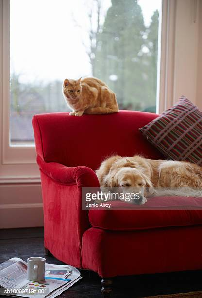 golden retriever dog with ginger tabby cat resting on sofa - cat and dog stock pictures, royalty-free photos & images